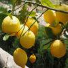 Sibirski limun: ljekovitost, sadnja i upotreba sibirskog limuna!